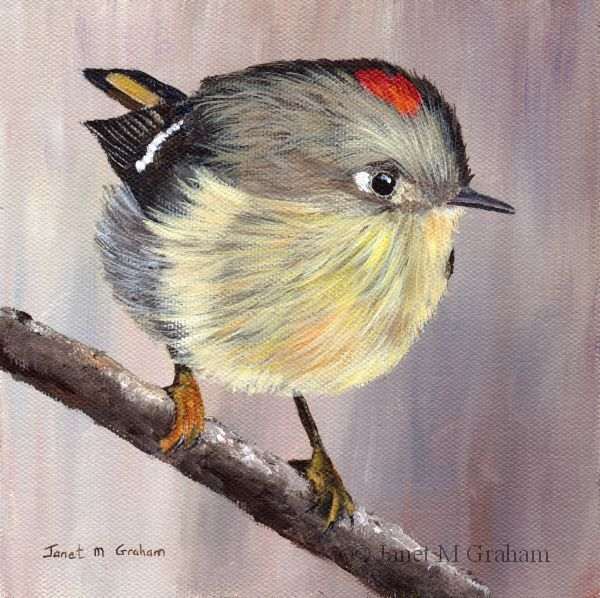 Ruby Crowned Kinglet by Janet M Graham