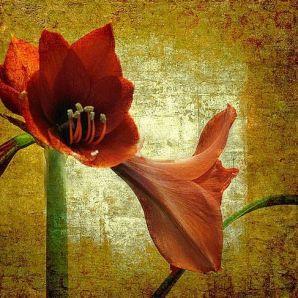 Stately Amaryllis by Carolyn Schiffhouer